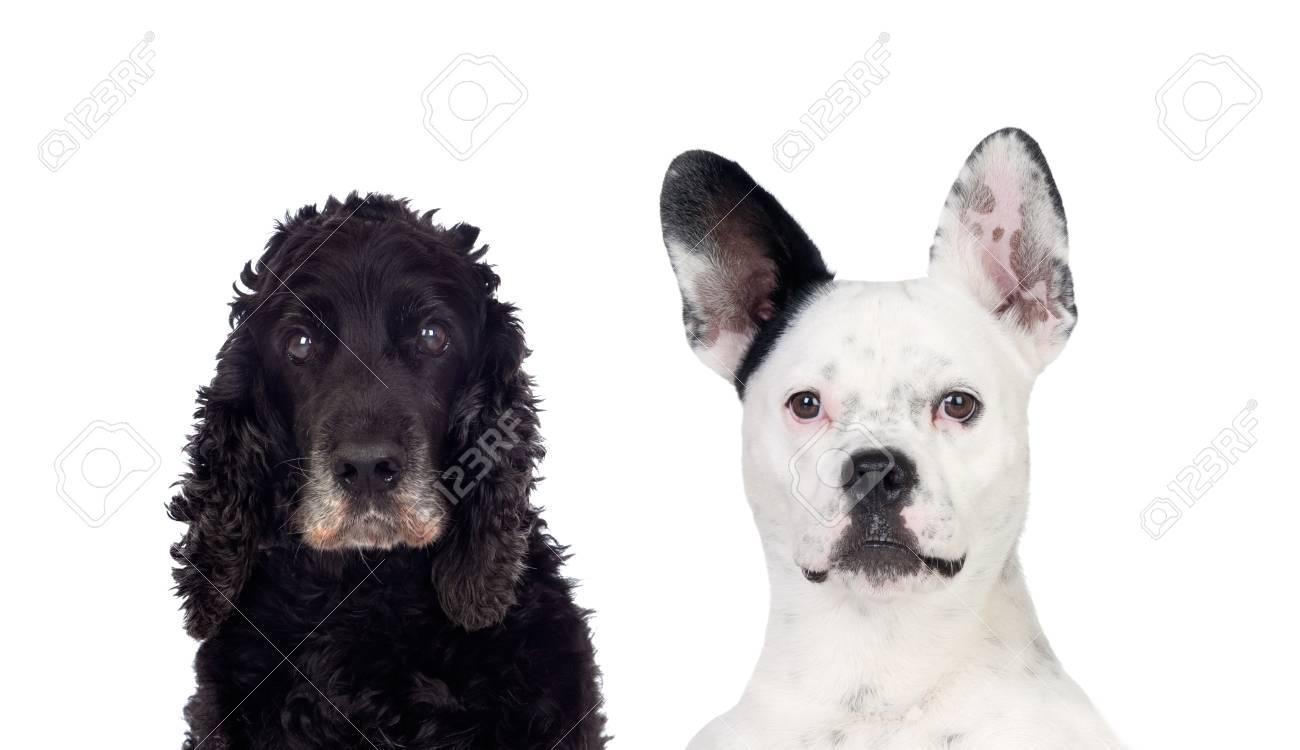 Schwarz Weiß Hunde Blick In Die Kamera Auf Einem Weißen Hintergrund