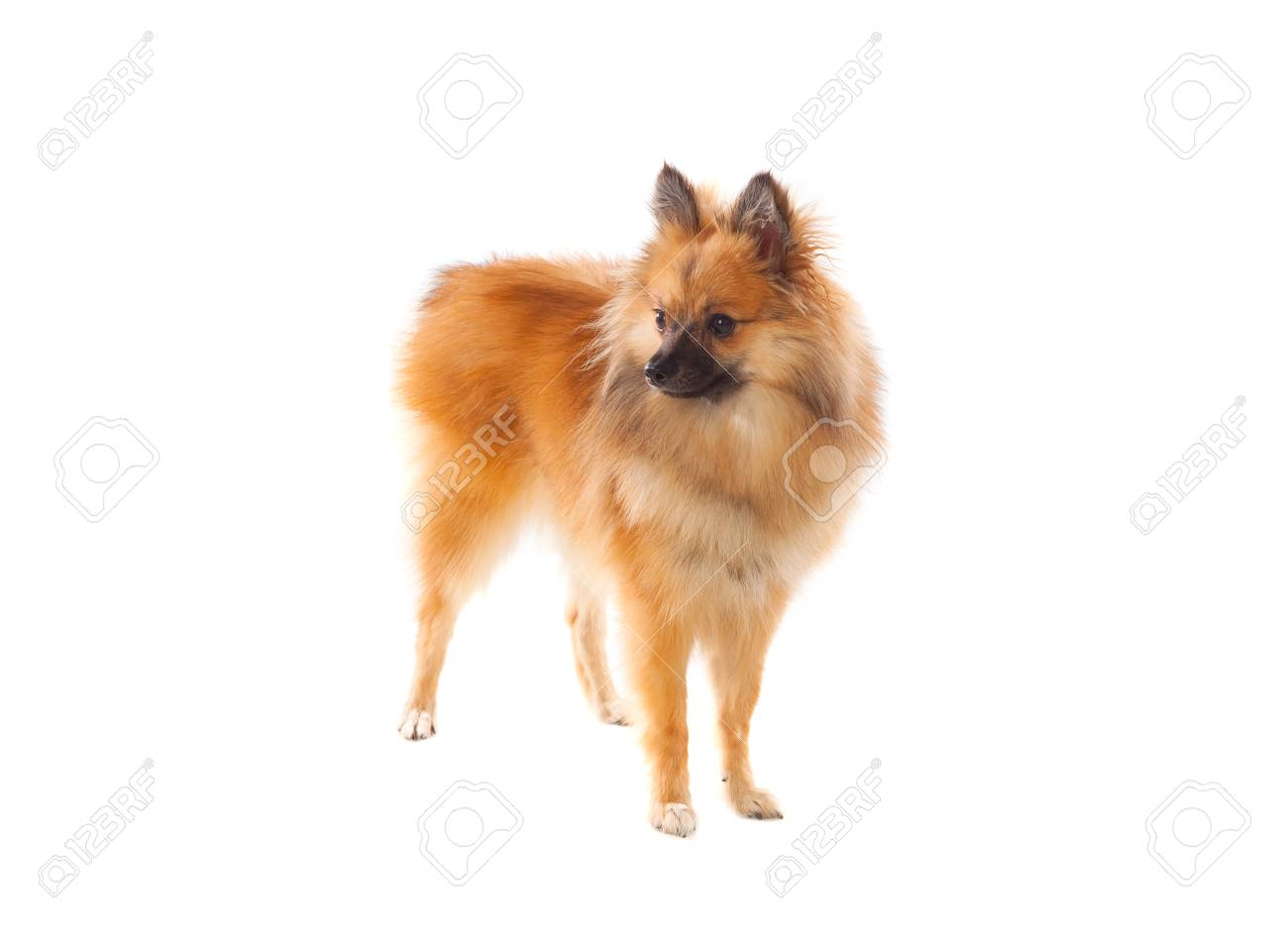 Beautiful Brown Pomeranian Dog Isolated On A White Background Stock