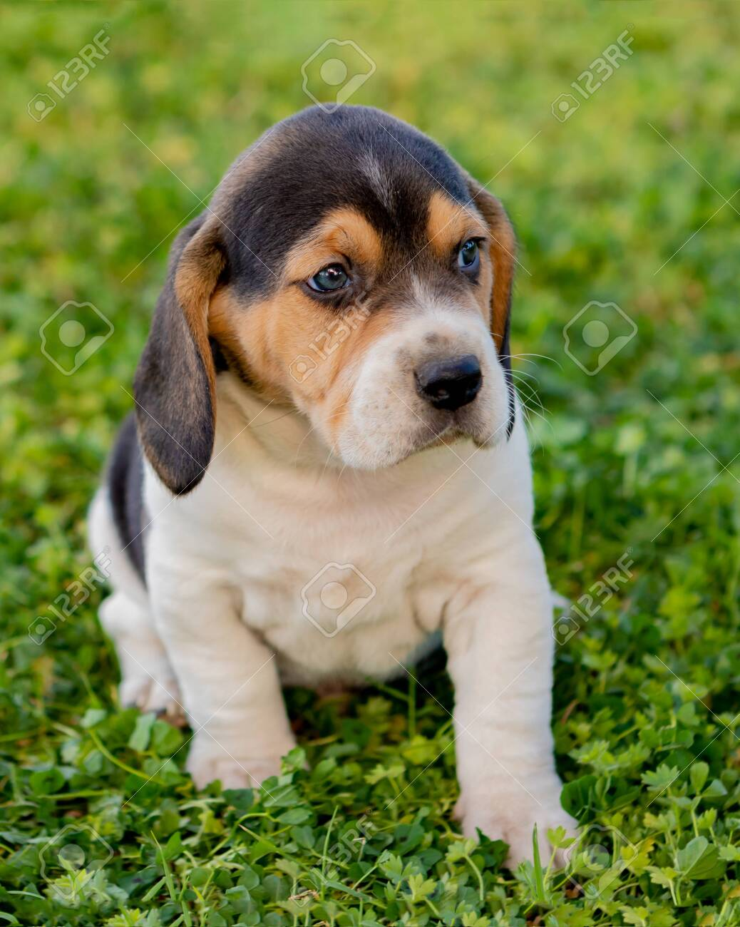 Beautiful Beagle Puppy Brown And Black On The Green Grass Stock Photo Picture And Royalty Free Image Image 120817883