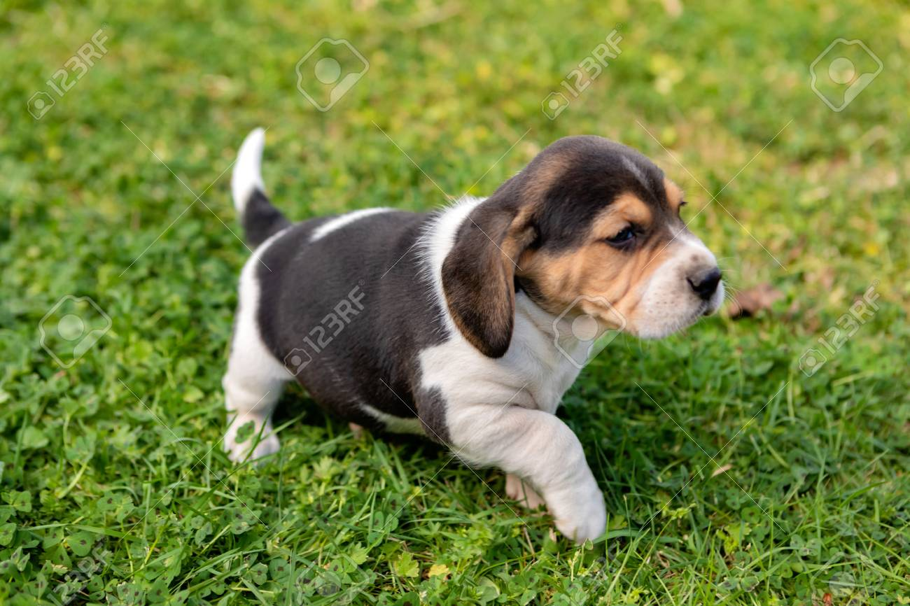 Beautiful Beagle Puppy Brown And Black On The Green Grass Stock Photo Picture And Royalty Free Image Image 120834749