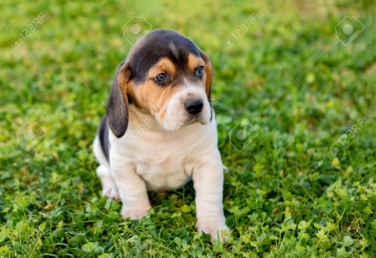 Beautiful Beagle Puppy Brown And Black On The Green Grass Stock Photo Picture And Royalty Free Image Image 120834842