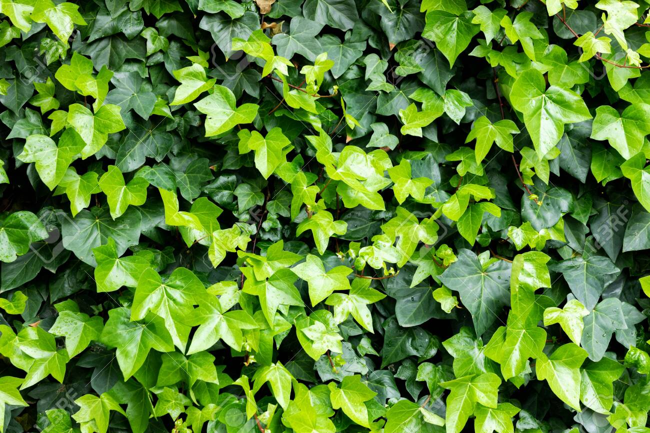 Ivy Leaves To Use Wallpaper With A Beautiful Color