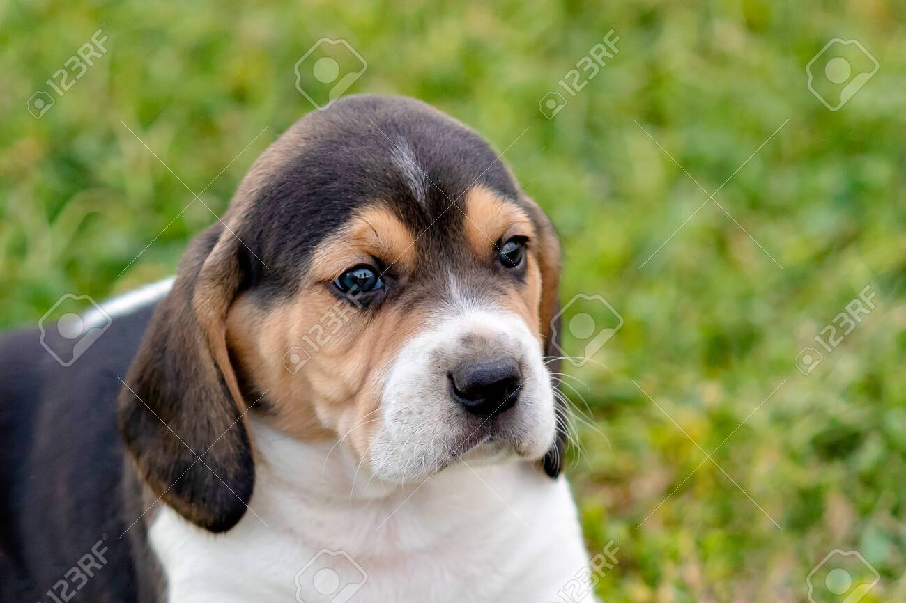 Beautiful Beagle Puppy Brown And Black On The Green Grass Stock Photo Picture And Royalty Free Image Image 122060485