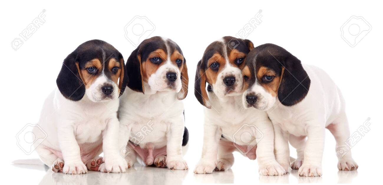 Adorable puppies isolated on a white background - 152488739