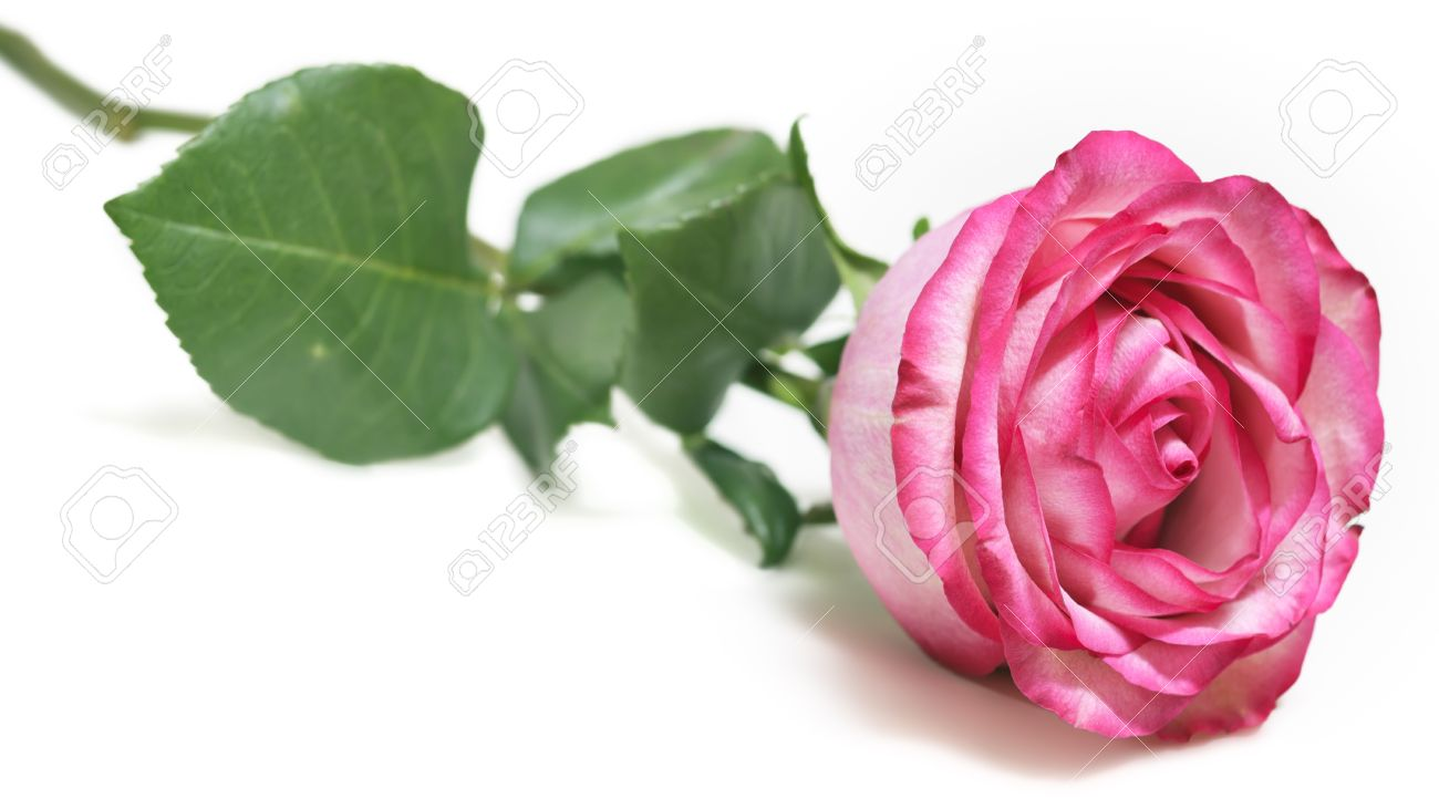 Beautiful Pink Rose Flower On White Background Stock Photo Picture