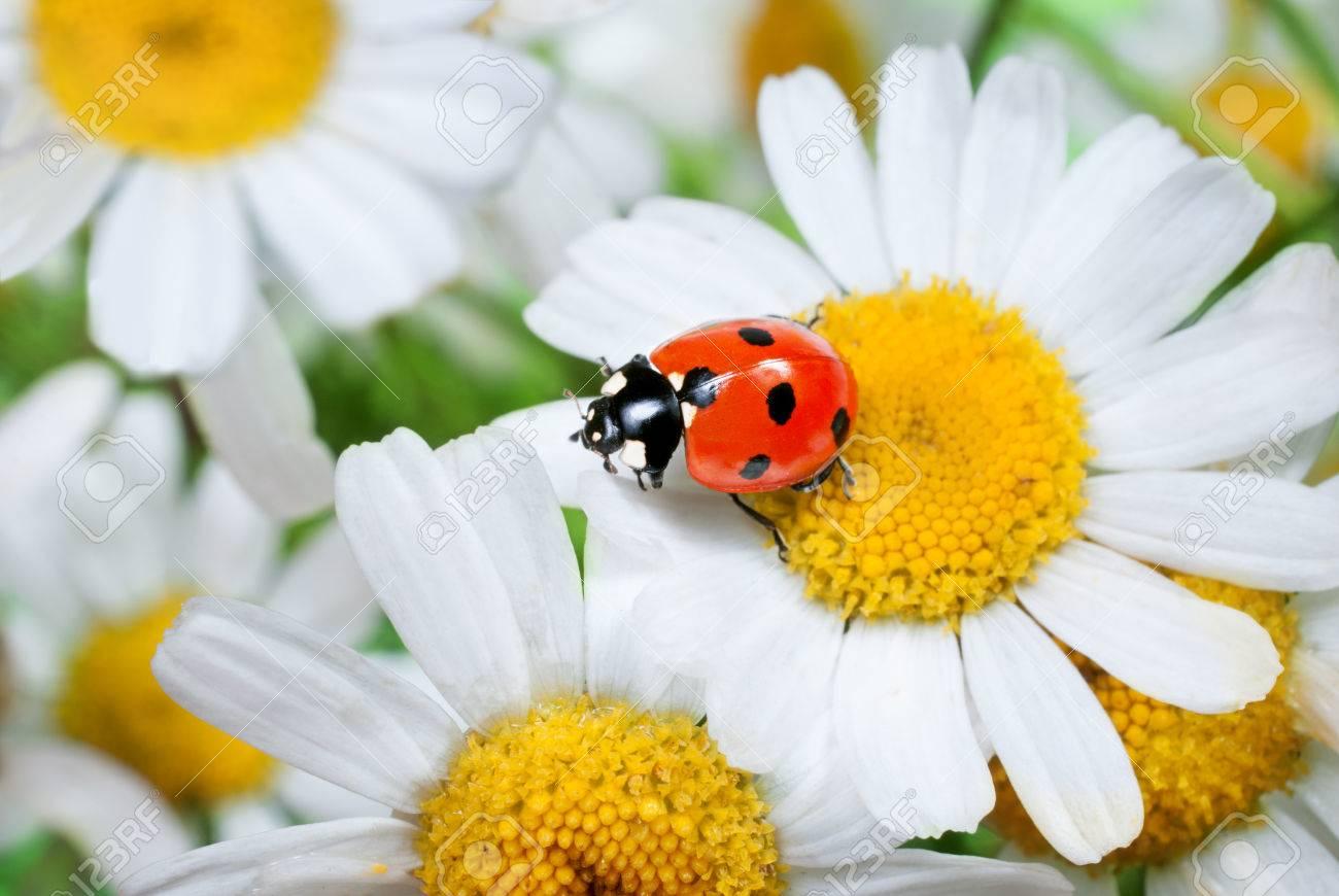 Marienkafer Auf Ganseblumchen Im Gras Lizenzfreie Fotos Bilder Und Stock Fotografie Image 25631423