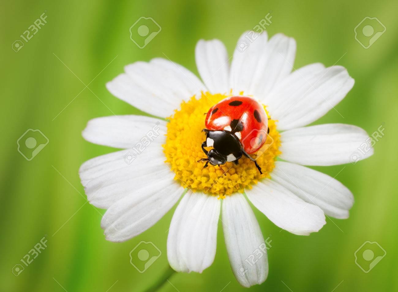 Marienkafer Auf Ganseblumchen Im Gras Lizenzfreie Fotos Bilder Und Stock Fotografie Image 25631426
