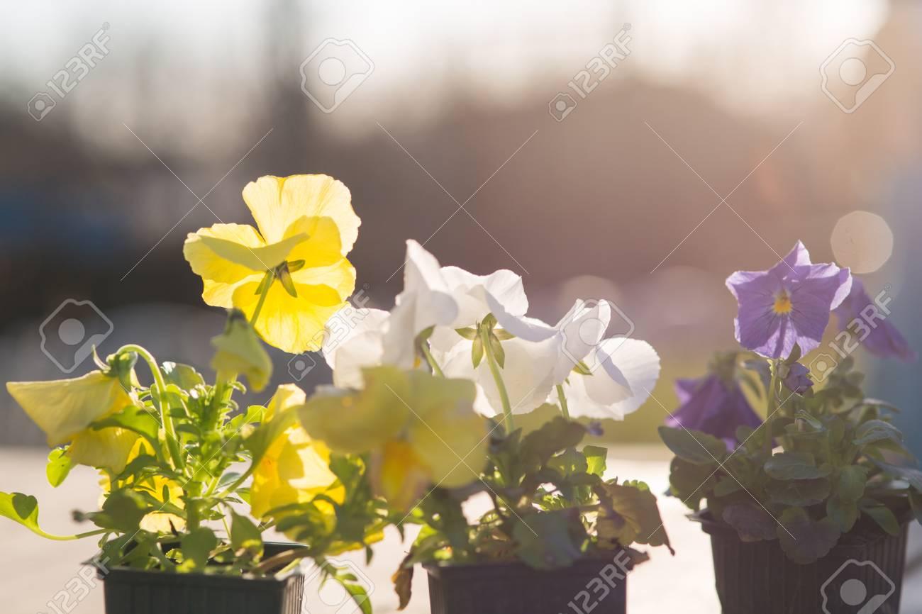 Viollet seedlings of flowers in the garden, pansy flowers eyes