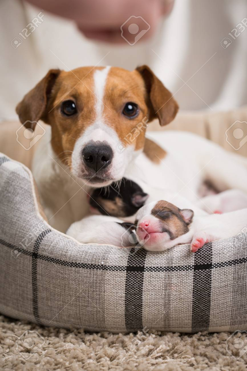 Dog Jack Of Breed Russell The Feeds Puppies Terrier Newborn hQrCtds