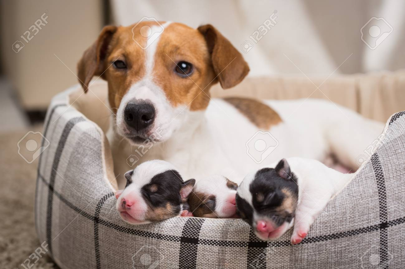 The Dog Feeds The Puppies Of The Newborn Breed Jack Russell Terrier Stock Photo Picture And Royalty Free Image Image 94803967