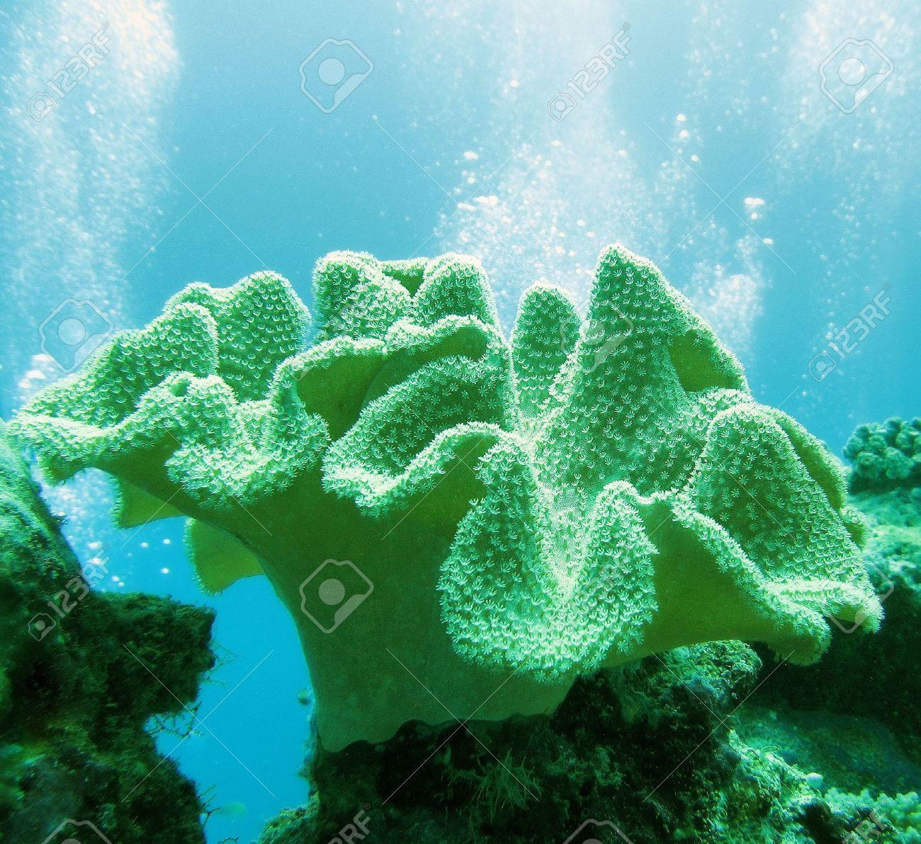 soft coral (sarcophyton glaucium) Stock Photo - 3415513