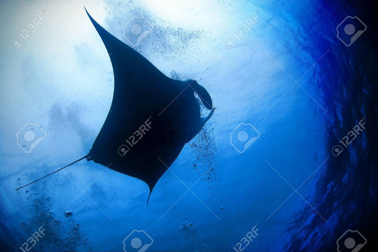 Manta Ray (Manta birostris) in blue water Stock Photo - 5621742