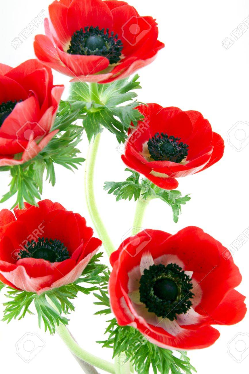 anemone flower images u0026 stock pictures royalty free anemone