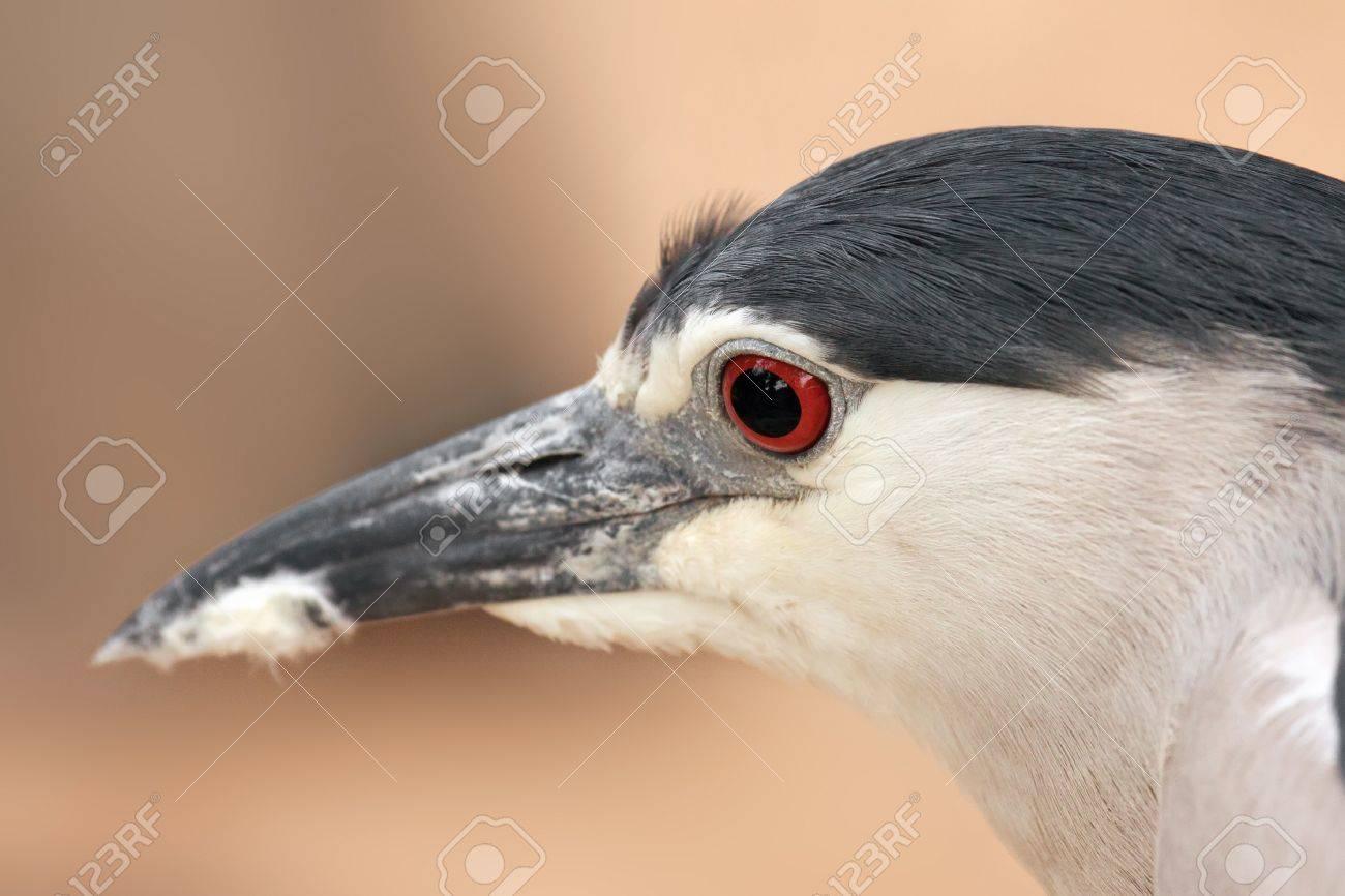 Black-crowned Night Heron  Nycticorax nycticorax   Portrait Stock Photo - 13688119