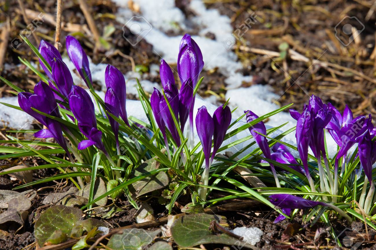 Crocus spring flowers in the meadow with melting snow stock photo crocus spring flowers in the meadow with melting snow stock photo 74967854 mightylinksfo