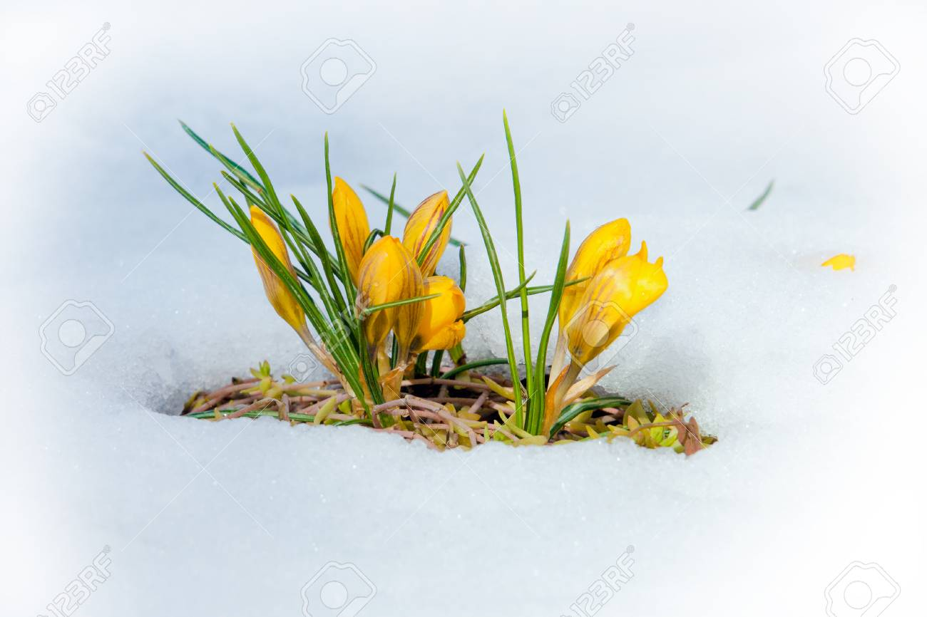 Krokus Fruhlingsblumen Auf Der Wiese Mit Schmelzendem Schnee