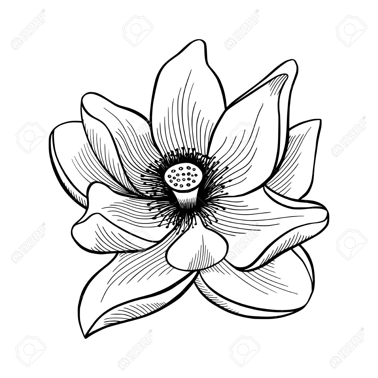 Hand Drawn Sketch Of Blooming Lotus Flower Royalty Free Cliparts