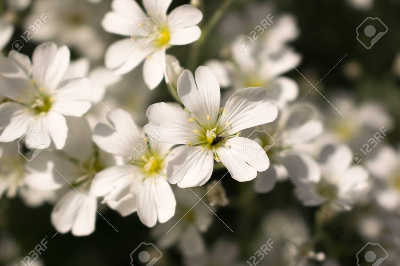 Pequenas Flores Silvestres Blancas En El Claro Del Bosque Fotos