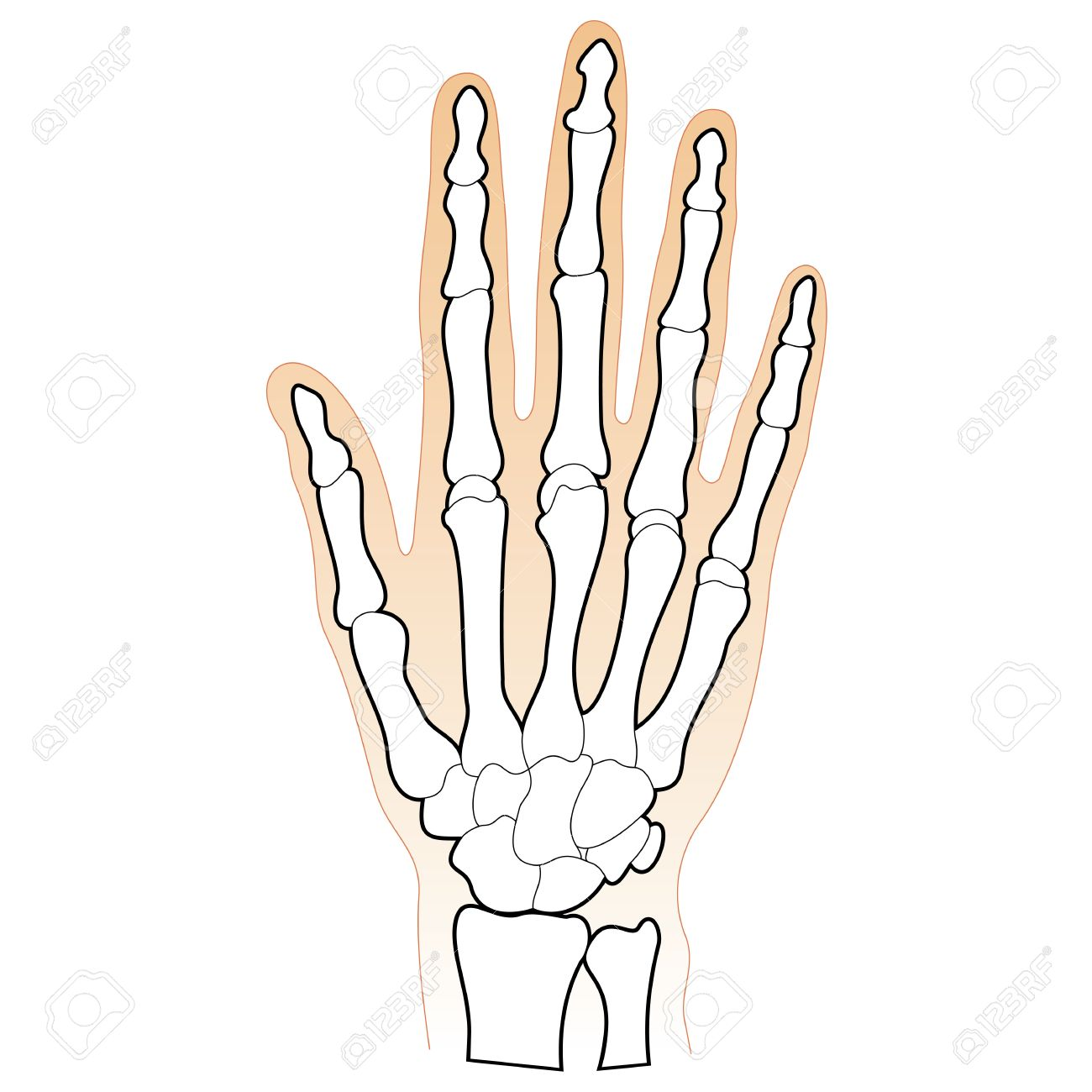 Bones Of The Human Hand Royalty Free Cliparts Vectors And Stock