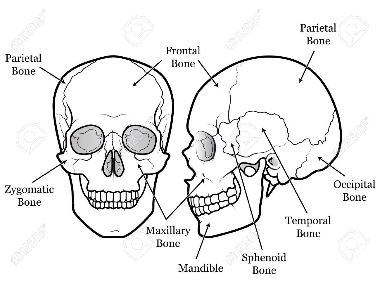 Gráfico Cráneo Humano Ilustraciones Vectoriales, Clip Art ...