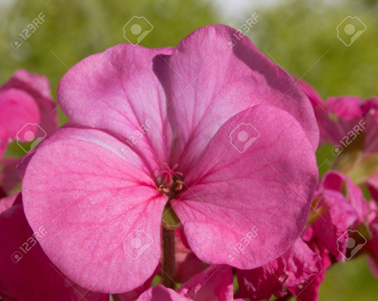 Pink Geranium Flower Close Up Showing Delicate Pink Stamen Picture
