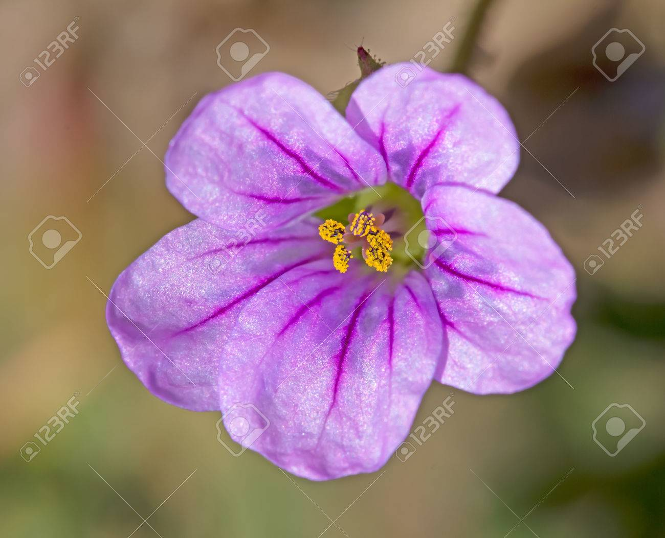 Pink Five Lobed Flower With Purple Veins And Yellow Pollen Filled