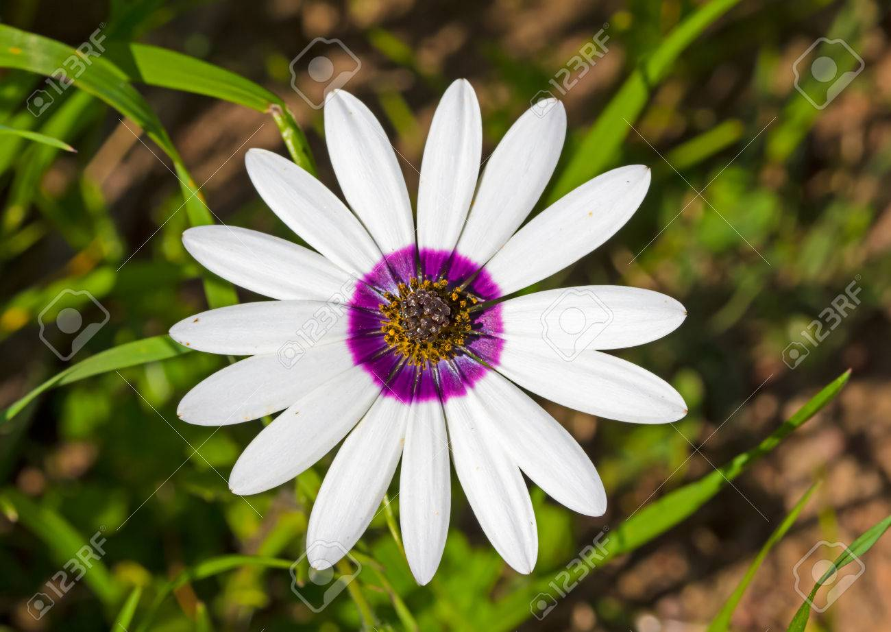 Large Daisy Known In Afrikaans As A Rain Flower With White Petals