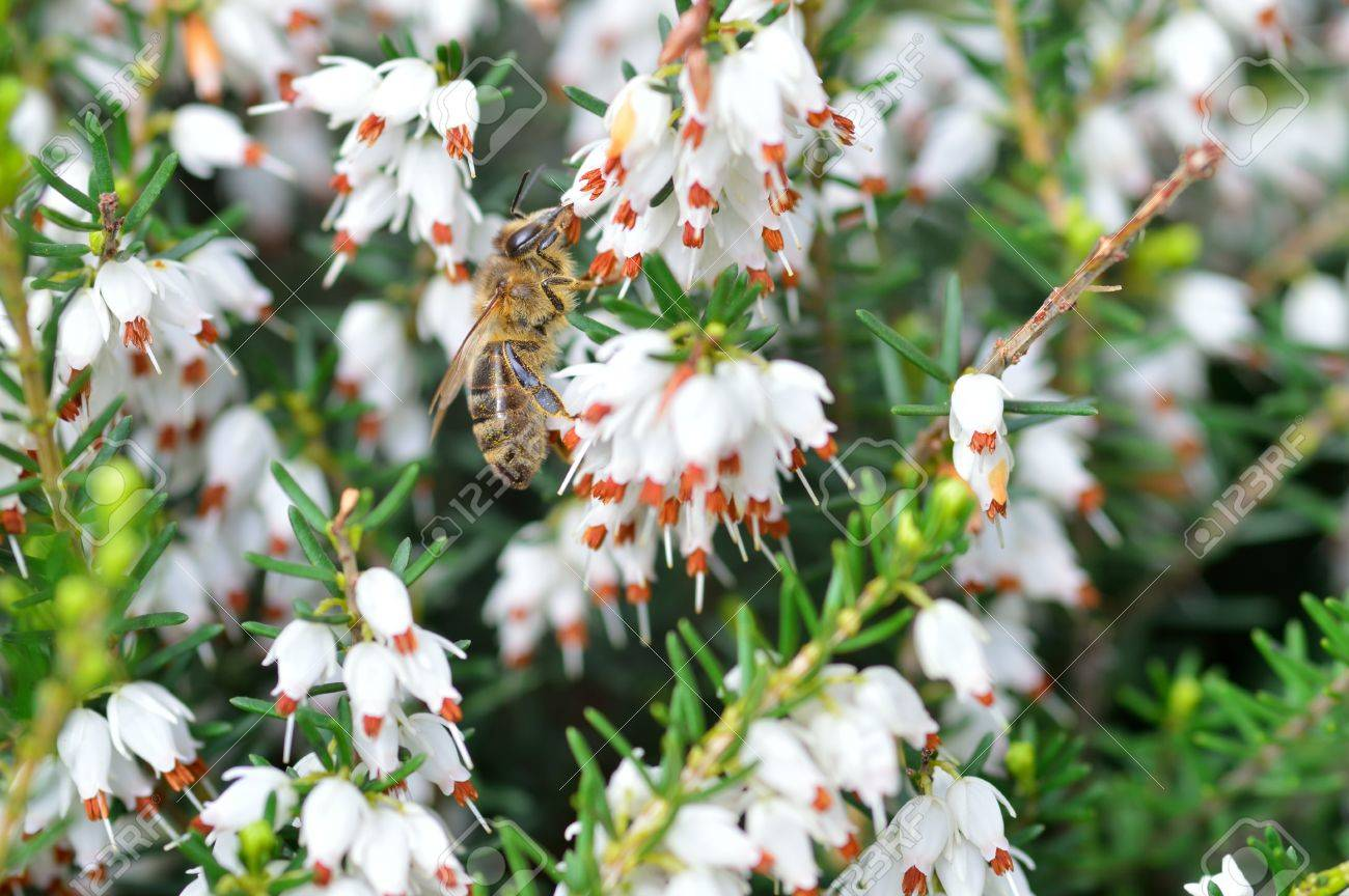 Close Up Of Bee On Erica Carnea White Winter Spring Heath With