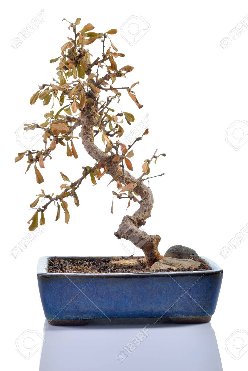 Dead Plant Carmona Retusa With Dry Leaves In A Bonsai Pot Stock Photo Picture And Royalty Free Image Image 28920516