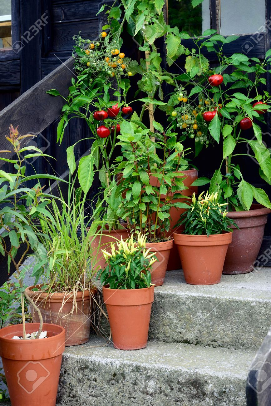 container vegetable garden. Ornamental Container, Vegetable Garden In Terracotta Pots. Mirabell Tomato Plant, Poupila Pepper Plant Container