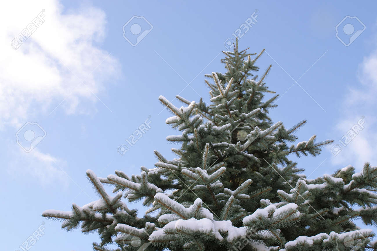 Spruce tree covered with snow, against blue sky Stock Photo - 608623
