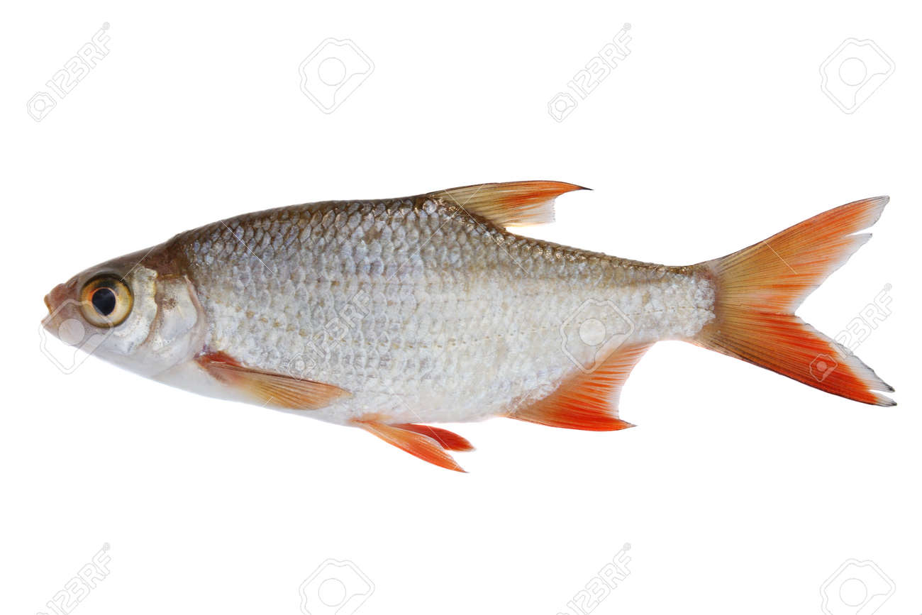 Freshwater fish - Small Freshwater Fish Isolated On White Stock Photo 1536061