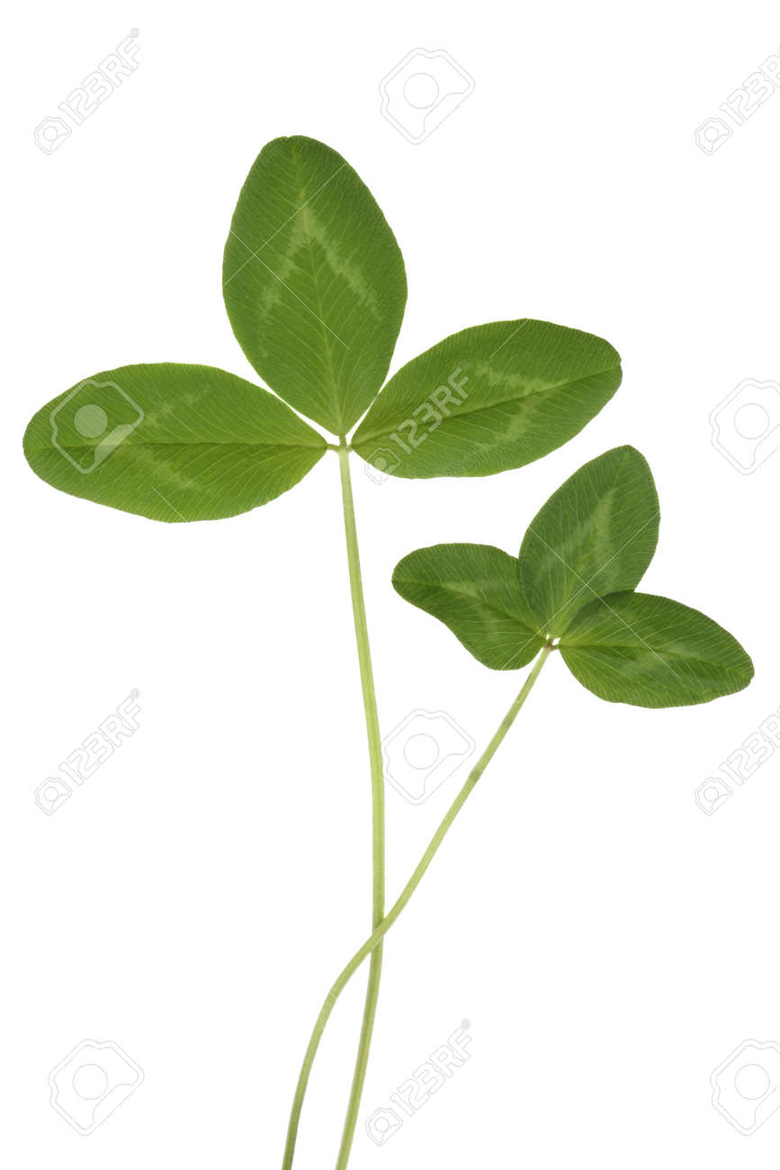 Leaves of red clover, isolated on white background Stock Photo - 2646125