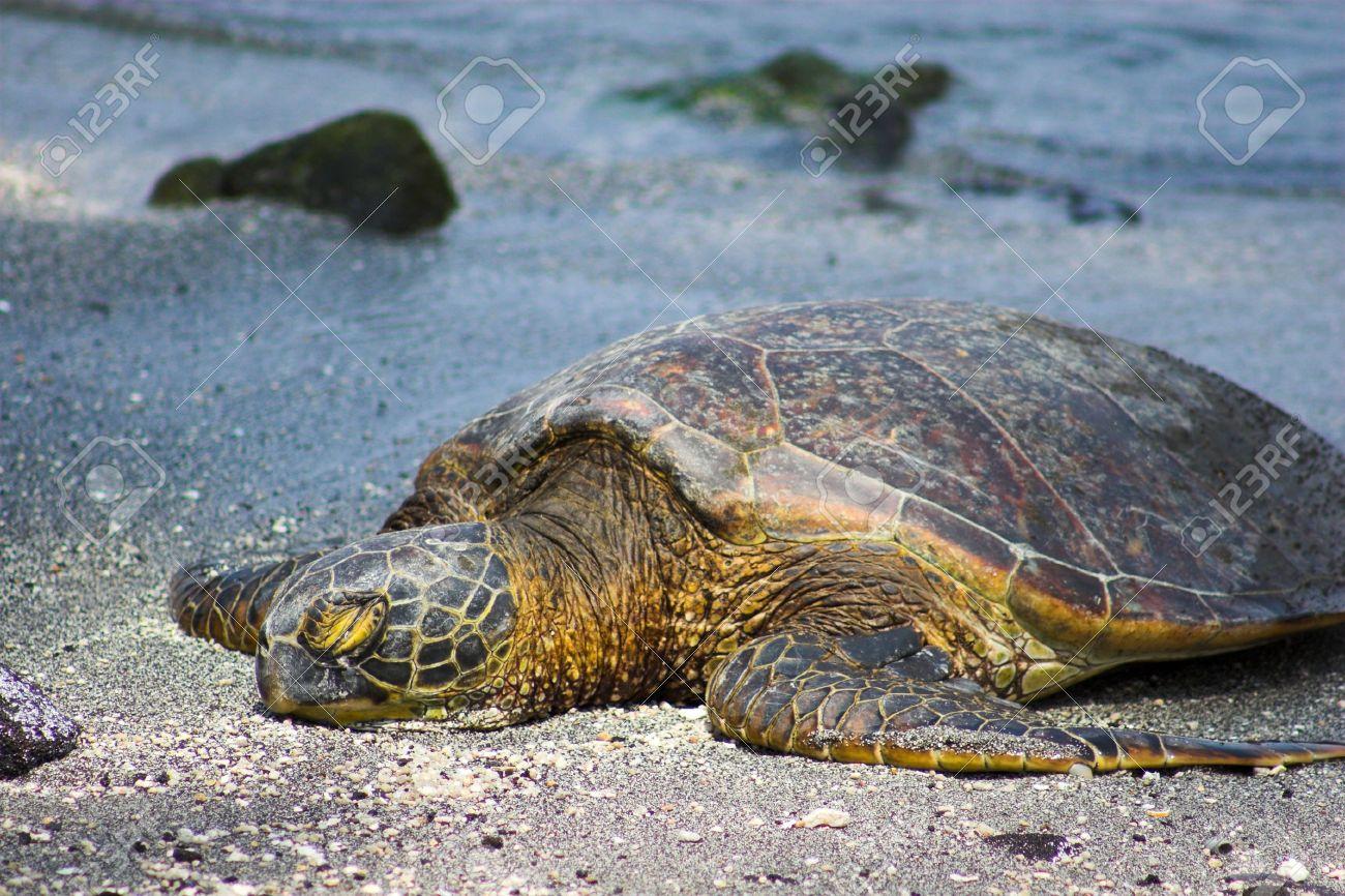 Grune Schildkrote Schlafen Im Sand Auf Big Island Lizenzfreie Fotos