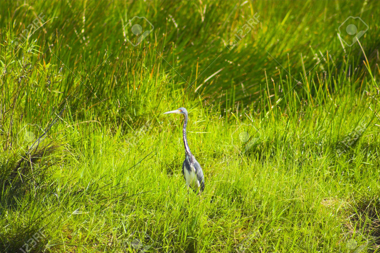 Great blue heron in Everglades national park swamp, Florida Stock Photo - 5132698