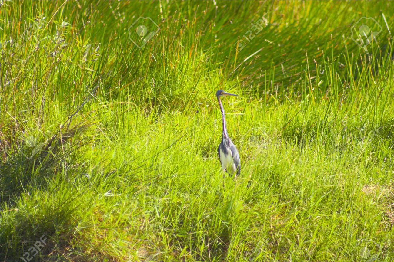 Great blue heron in Everglades national park swamp, Florida Stock Photo - 5156772