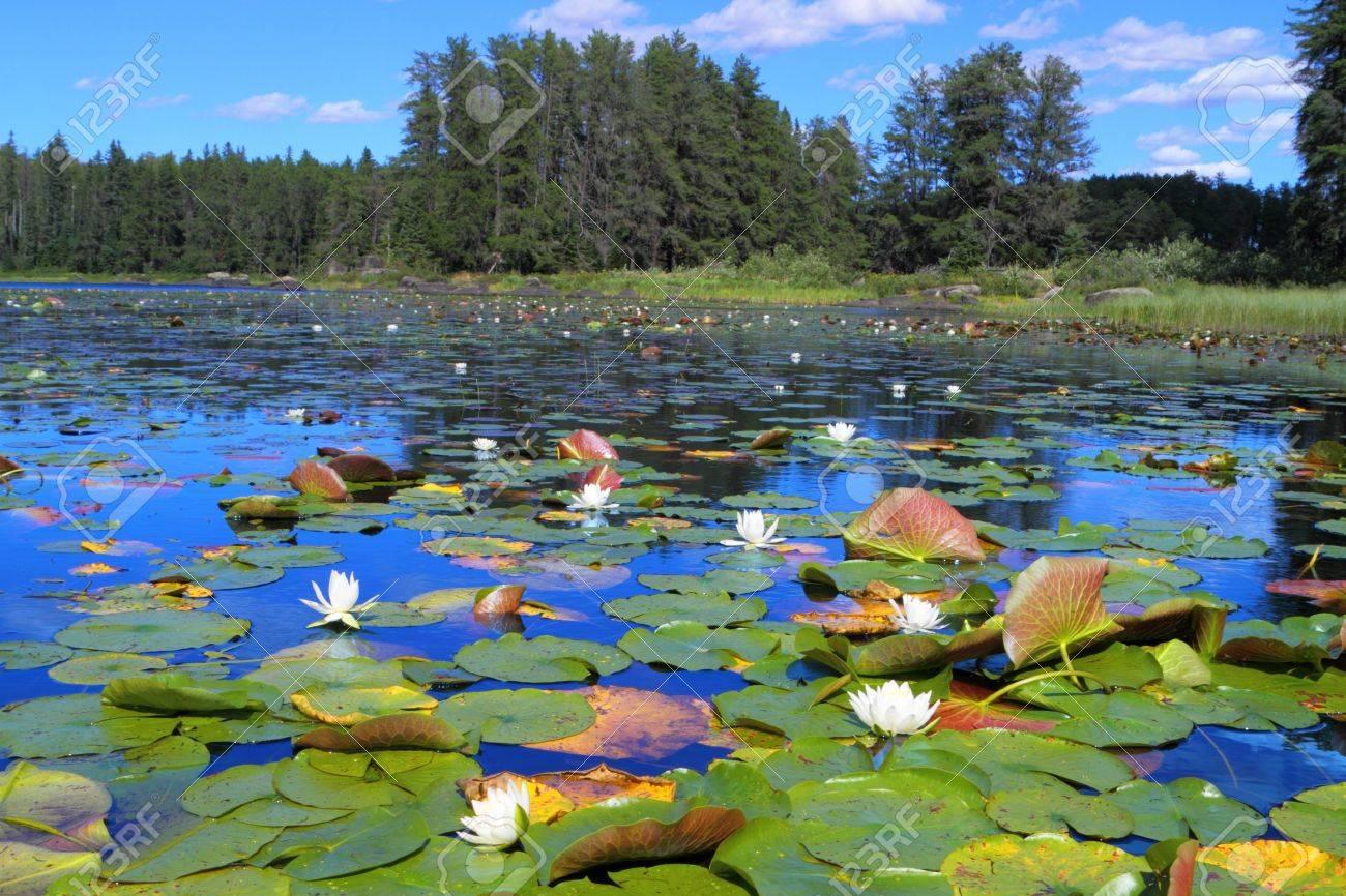 Beautiful water lilies blooming in Minnesota lake Stock Photo - 12687266
