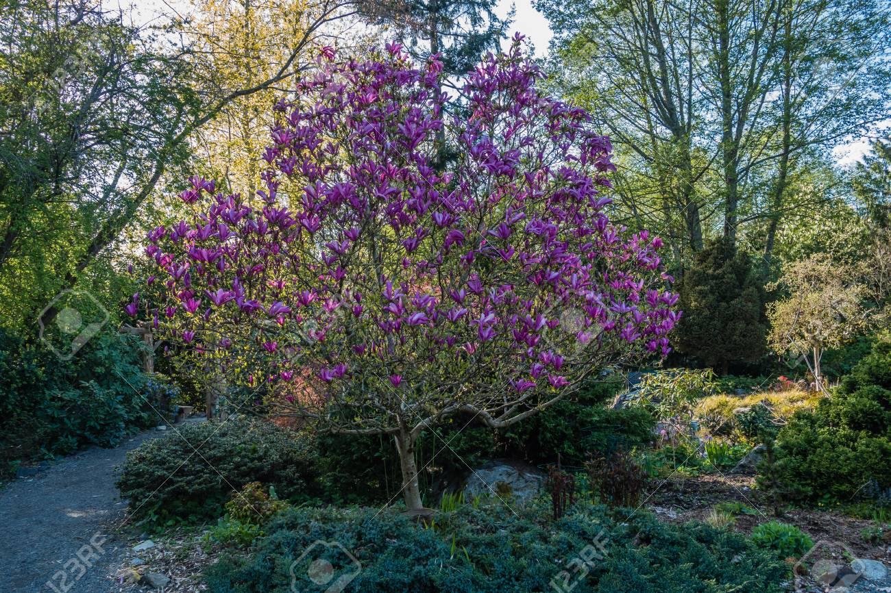 ein blick auf einen tulpenbaum in voller blute foto eingelassenes seatac washington standard