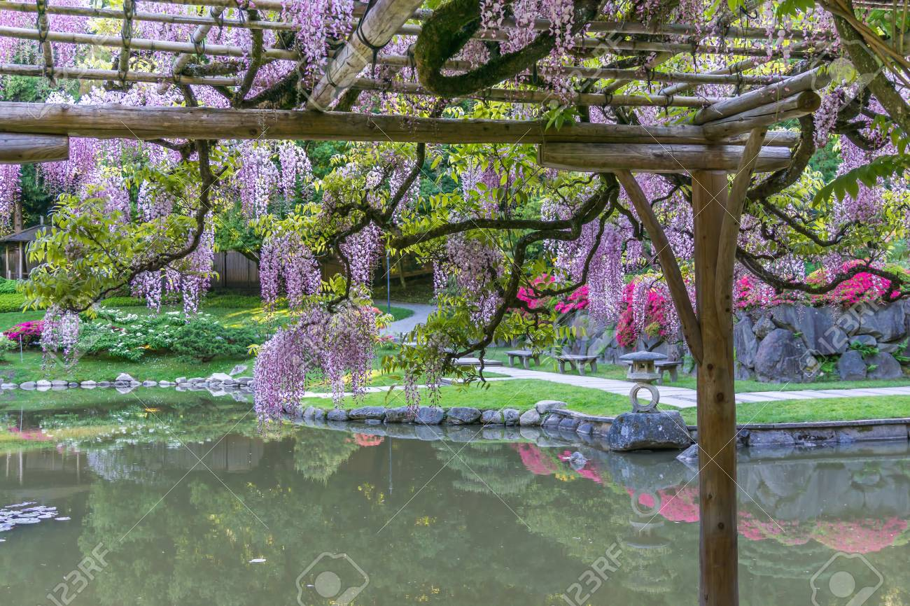 Wisteria Flowers Hang Over A Pond In A Seattle Garden Stock Photo