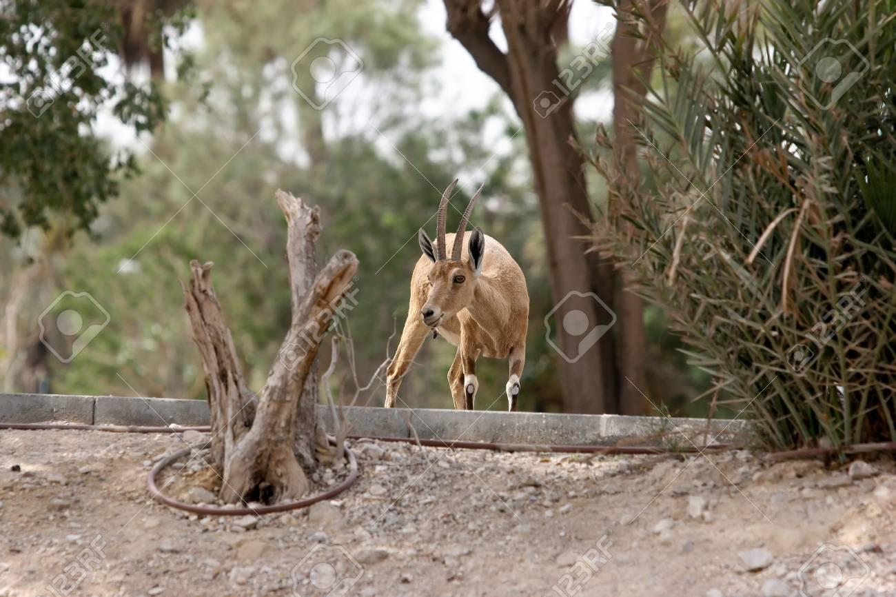 Ibex in Ein Gedi, Israel National Park Stock Photo - 3078045