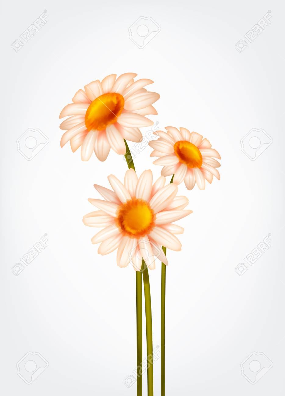 Fresh Daisy flowers, marguerite, chamomile isolated. - 125298574