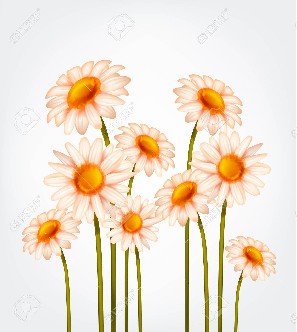 Fresh Daisy flowers, marguerite, chamomile isolated. - 125298575