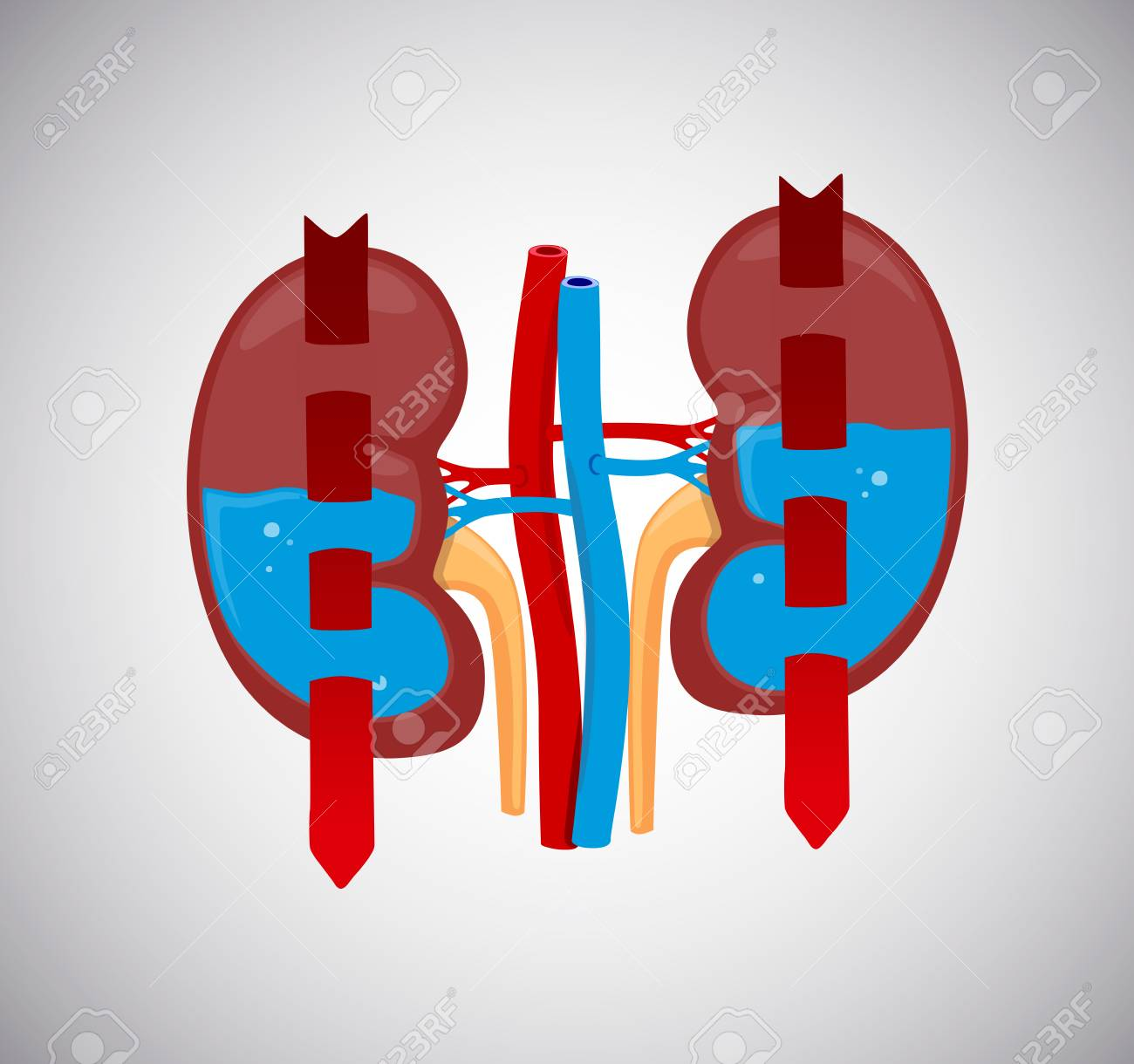 Kidneys cleaning blood with water inside. Blood circulates throught kidneys. - 125276360