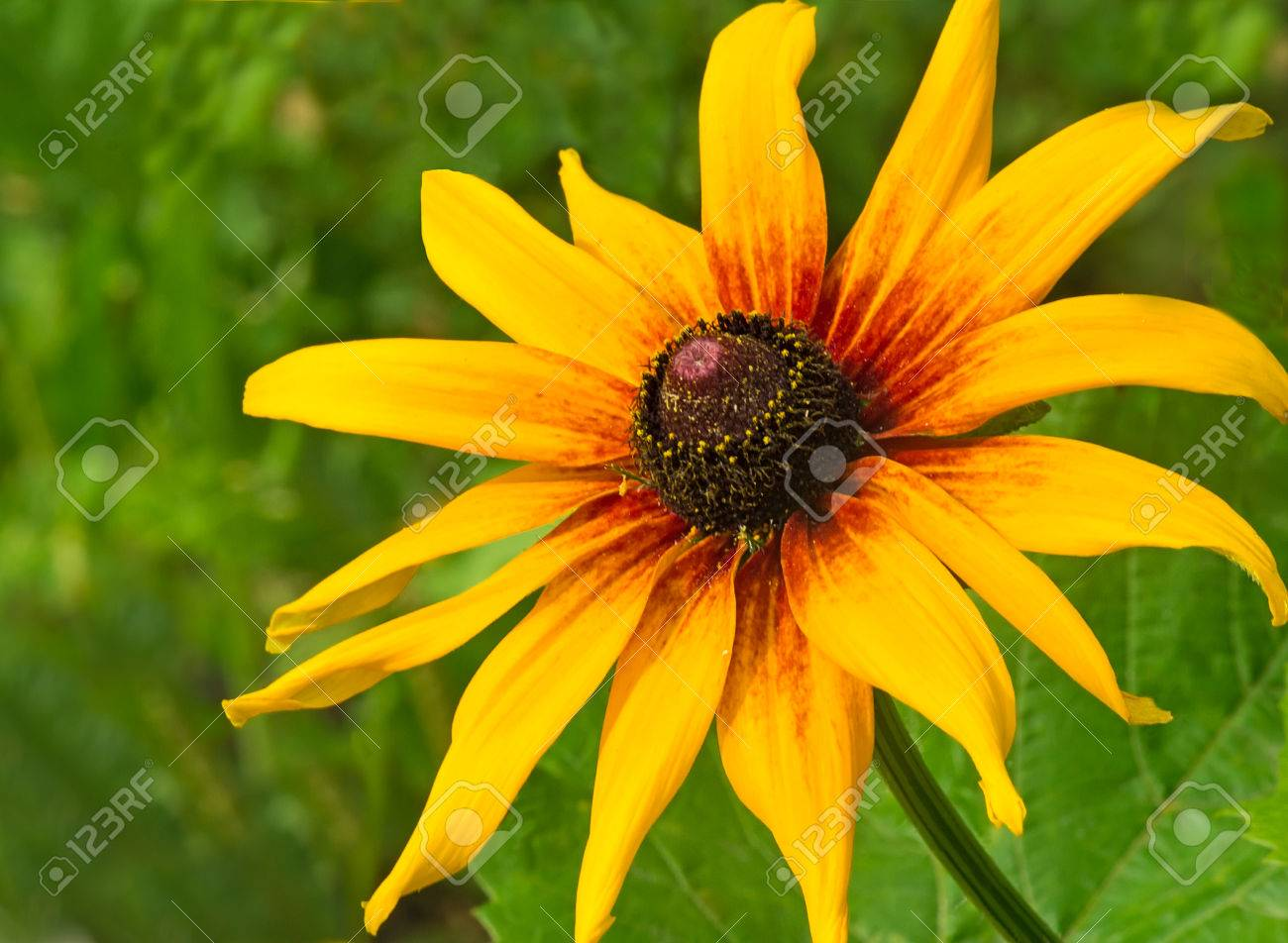 Big Beautiful Flower Of Yellow Color Blossoming In A Garden Against