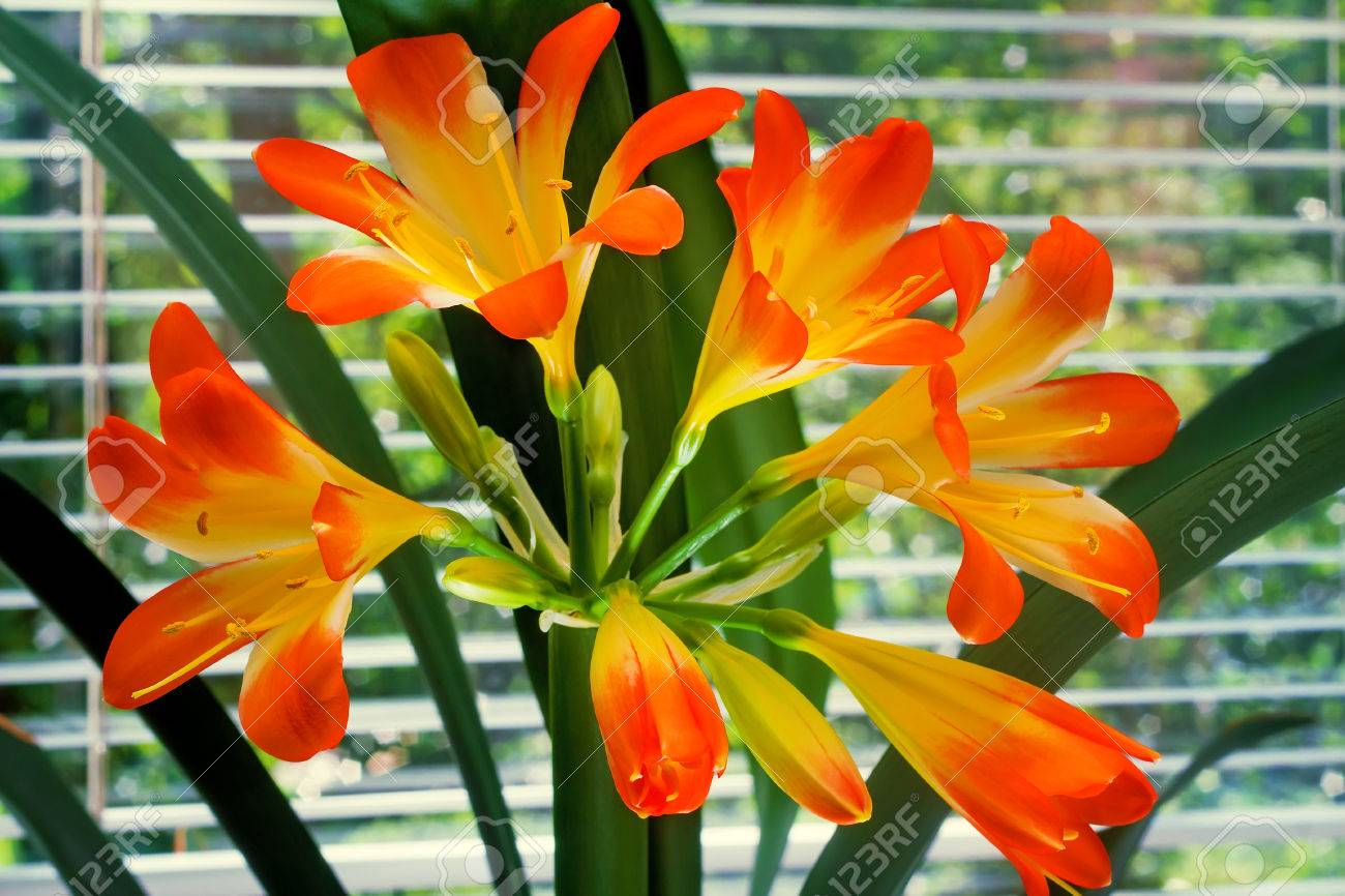 Beautiful inflorescence of large orange yellow flowers of beautiful inflorescence of large orange yellow flowers of amaryllis with dark green leaves on the mightylinksfo