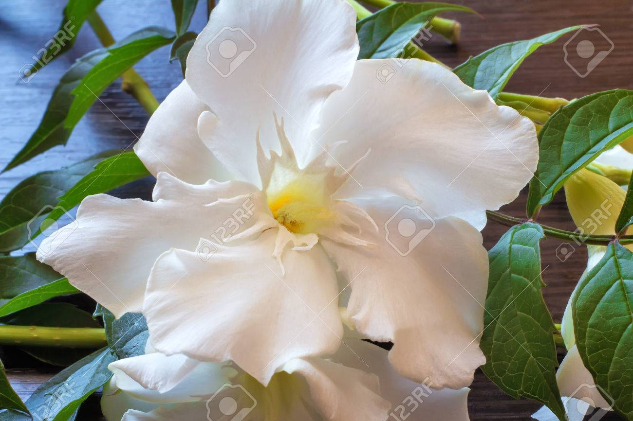 A close up of beautiful white oleander flower against green leaves a close up of beautiful white oleander flower against green leaves stock photo mightylinksfo