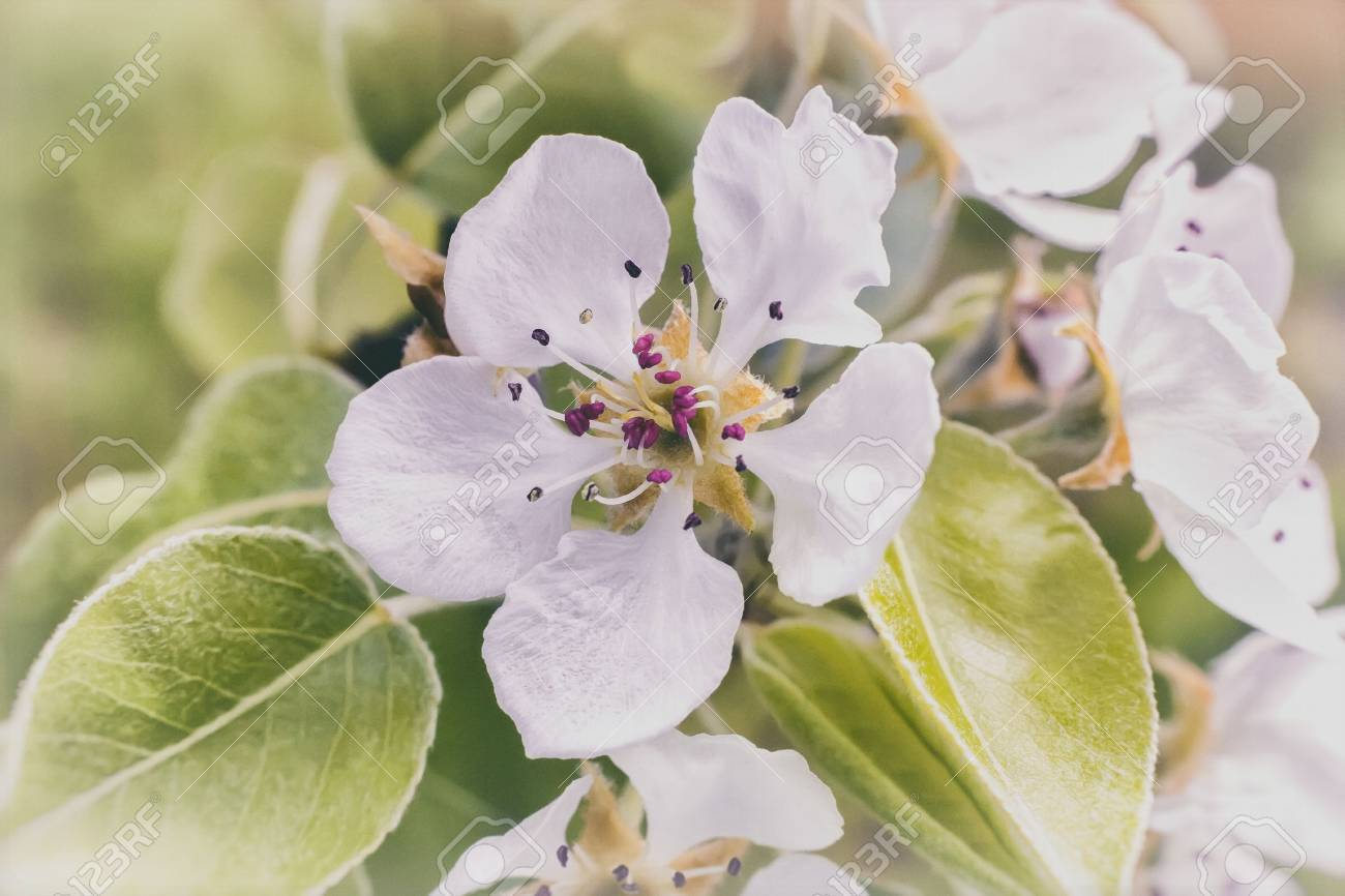 Branch Pears With A Large Number Of White Pink Flowers And Buds