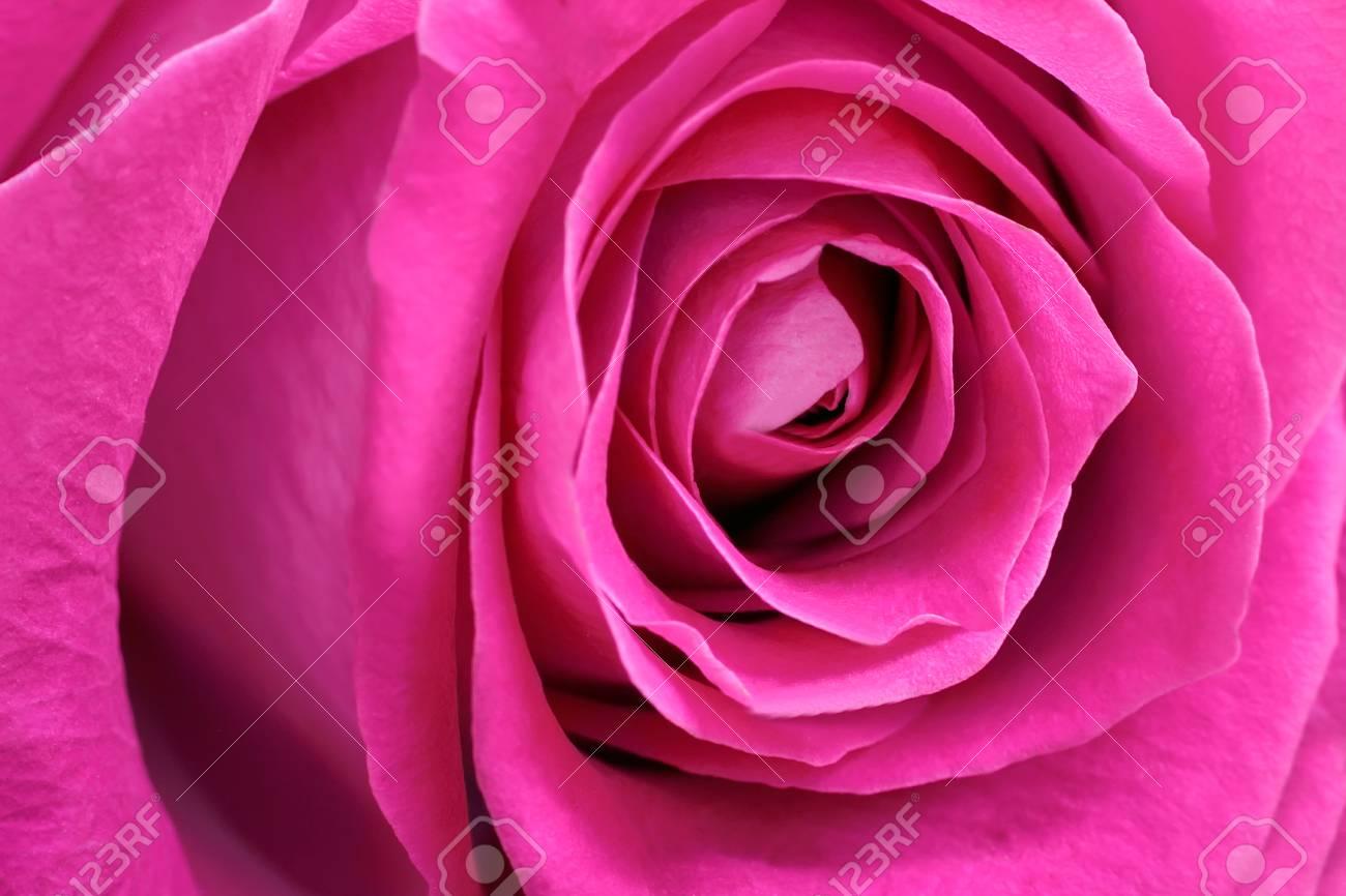 La Rosa Rossa Più Bella Primo Piano Del Nucleo Di Una Rosa Foto