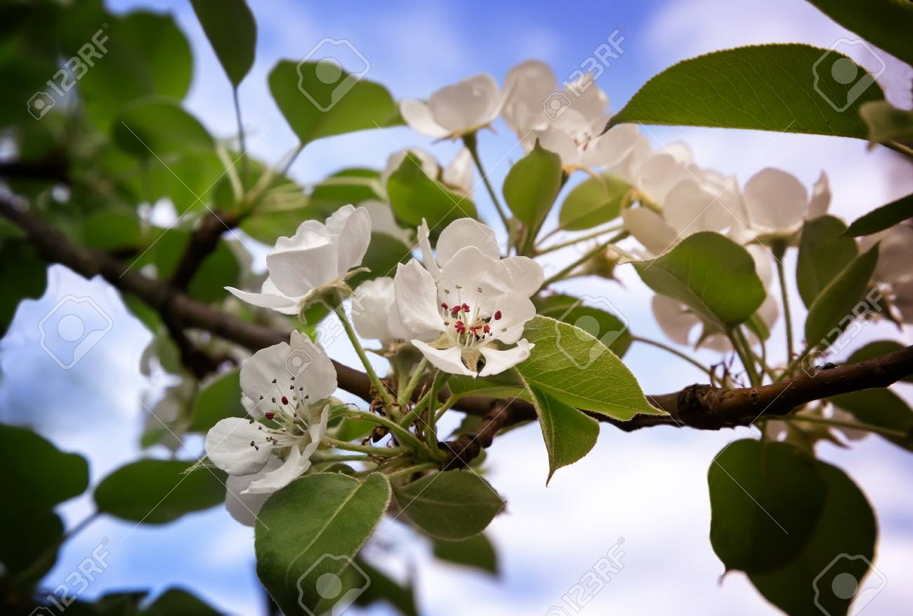 The pear tree with lots of pink and white flowers and buds in stock photo the pear tree with lots of pink and white flowers and buds in a green garden in spring on blue sky background mightylinksfo