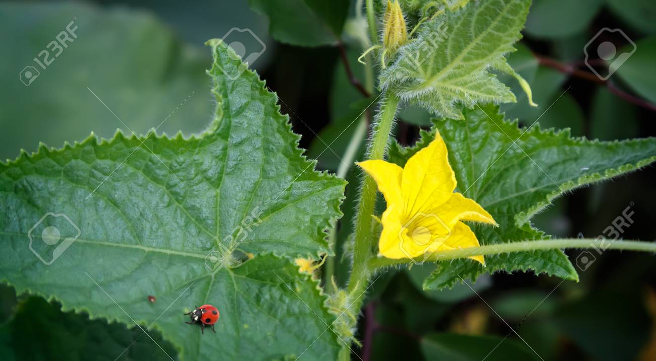 The Garden Is Planted With The Young Plant Of Cucumber With Yellow